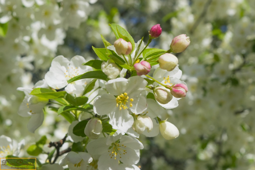 Crabapple Blossum